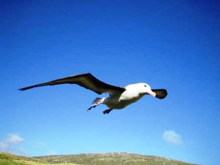 the big bird race albatross