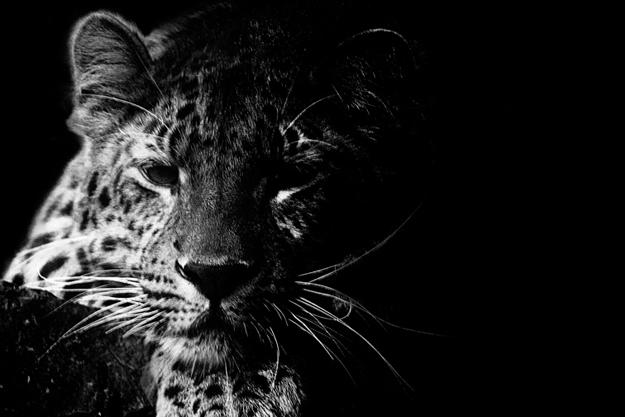 WWF-Russia-wild-tattoo-2